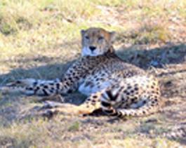 Cheetah-Ihlozi 3