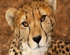 Cheetah-Ihlozi
