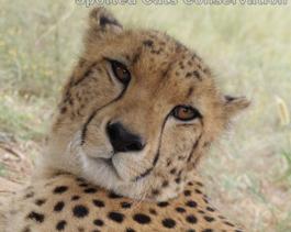 Cheetah-Khaki