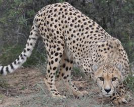 Cheetah-Khaki2