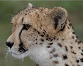 Cheetah-Ola