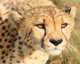 Cheetah-Sahara