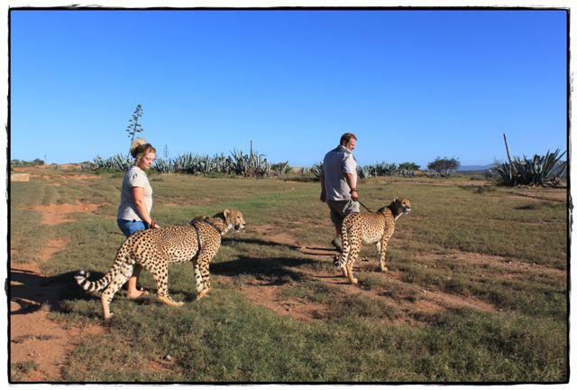 Daniell Cheetah ProjectCheetahs, Lions & Leopards in South