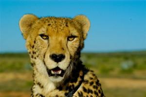 Cheetahs + Diere 054