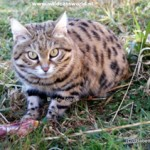 Daniell Black Footed Cat 2