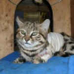 Daniell Black Footed Cat 3
