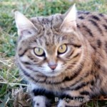 Black Footed Cats