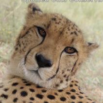 cheetah volunteer south africa
