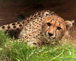 cheetah-Gia