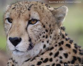 cheetah-Ihlozi (2)