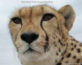 cheetah-Ola (2)