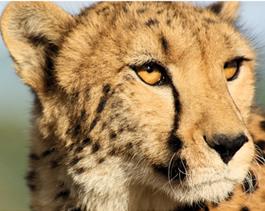 Cheetah-Meisiekind