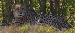 Diesel Cheetah2