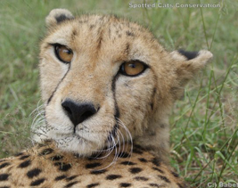 cheetah-Meissiekind