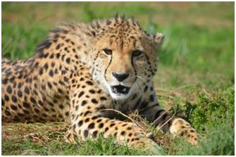 Diesel the Cheetah