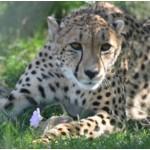 Gucci the Cheetah
