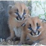 Lea Kittens