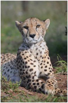 Meisikind the Cheetah