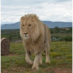 Norris the Lion