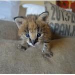Serval Kitten 1
