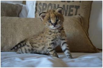 Serval Kitten 2