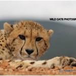 Sunny the Cheetah
