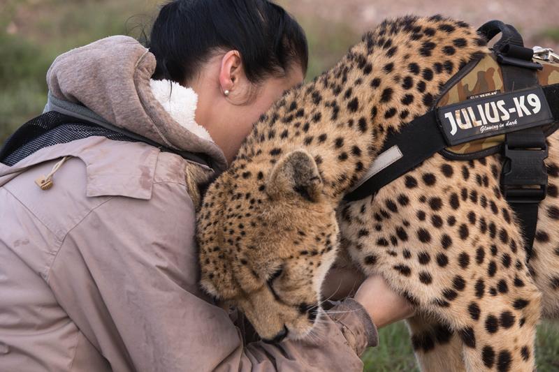 Cheetah Walks