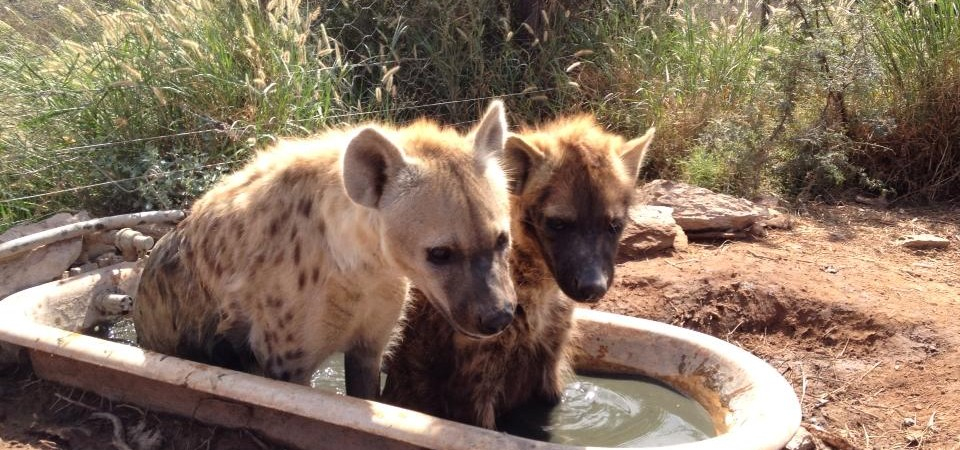 Daniell Cheetah Project Hyenas