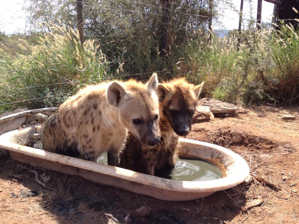 Daniell Cheetah Project Hyenas