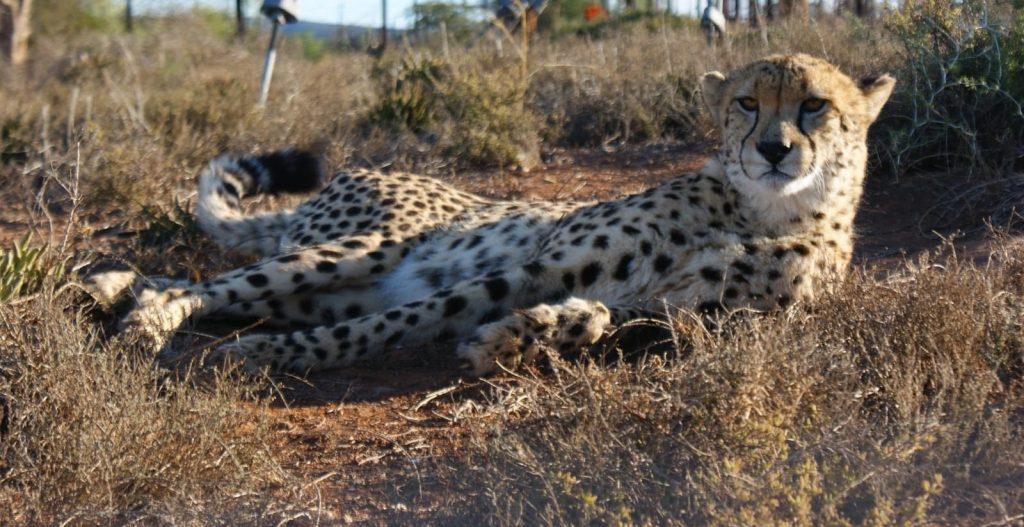 Anu Cheetah