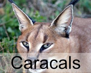 Caracals