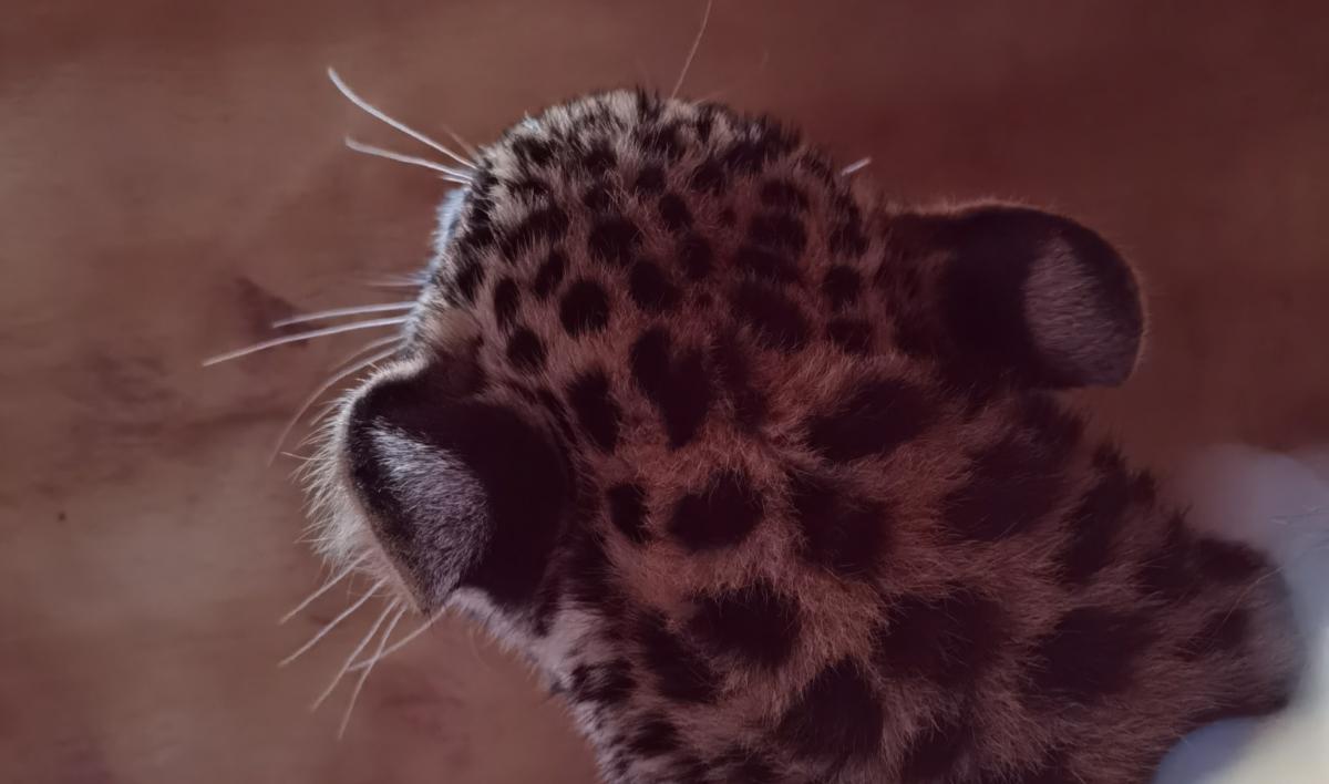 Leopard Daniell Cheetah Project