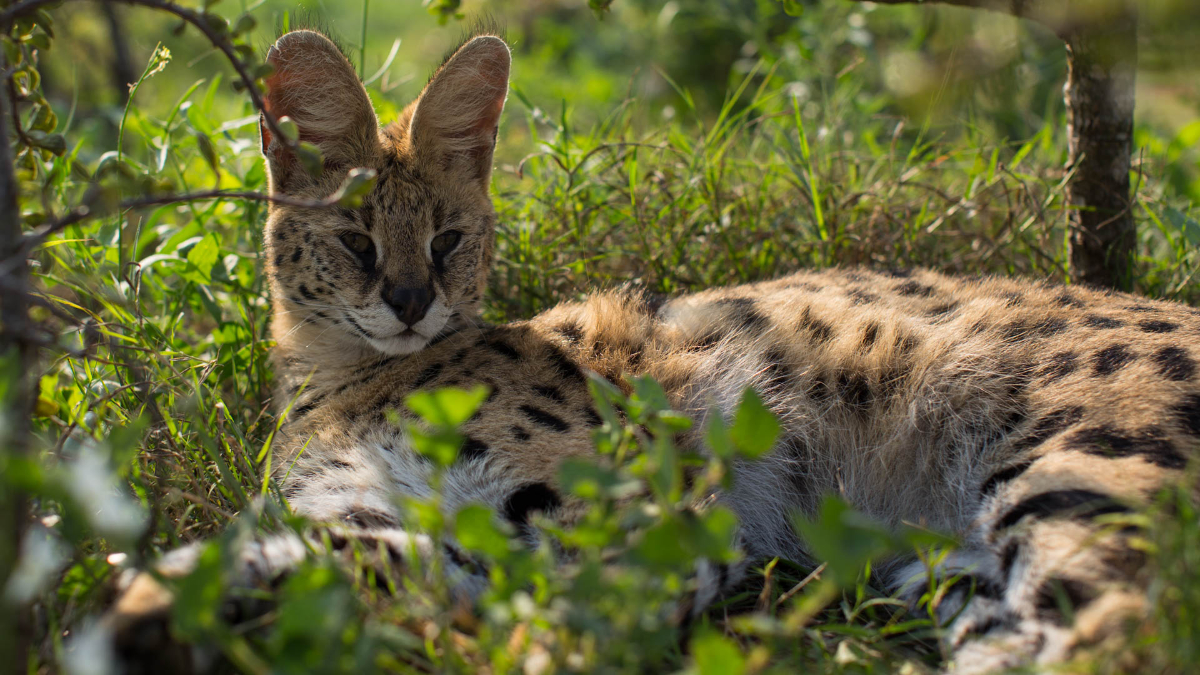 Servals Daniell Cheetah Project