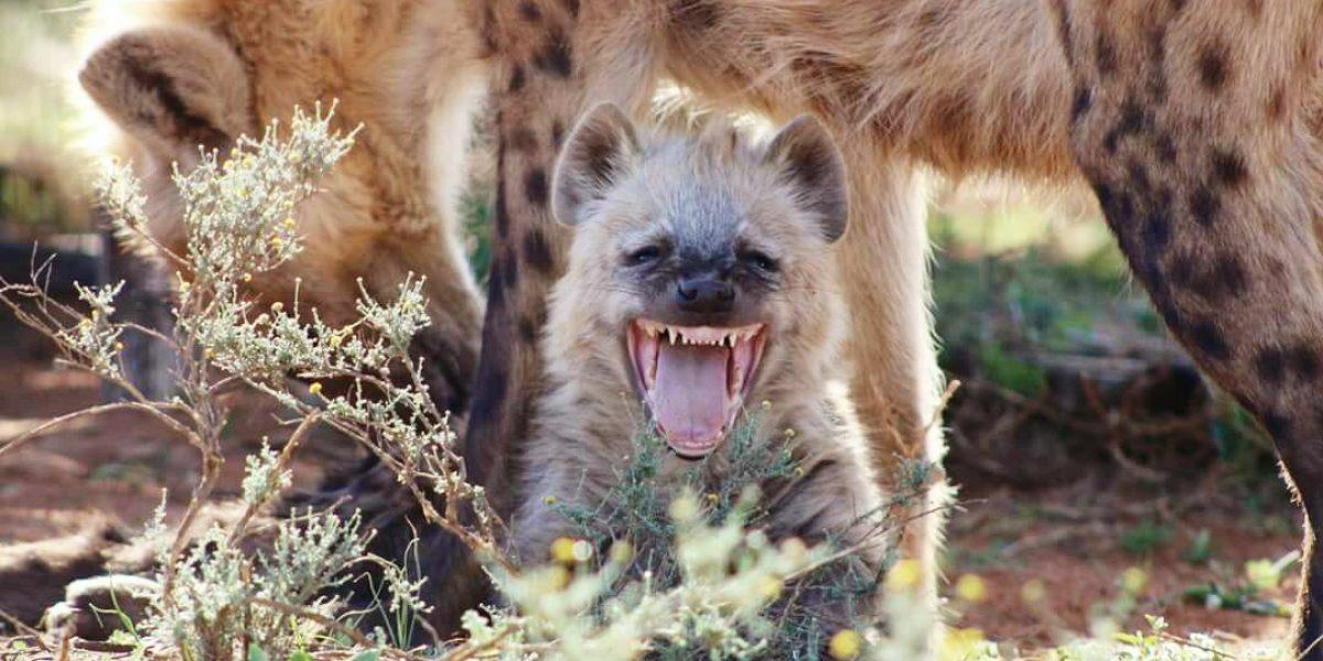 Happy Hyena