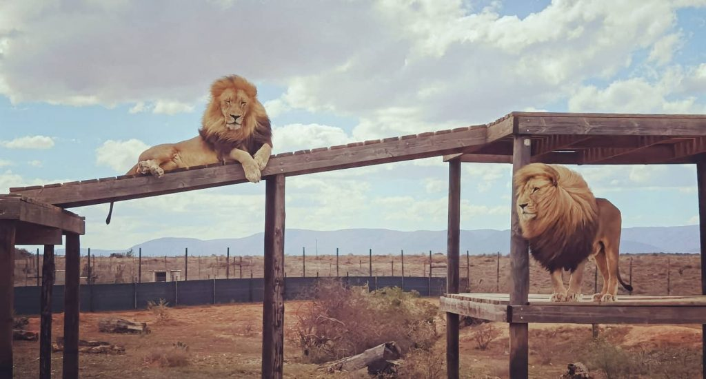 Lions Chuck and Norris